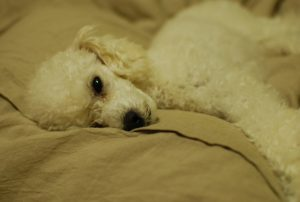 犬のおねしょの画像です